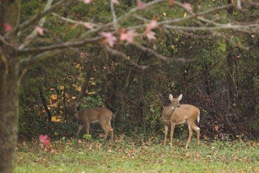 Deer in my backyard.